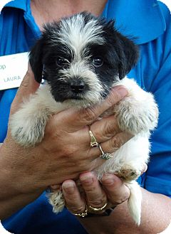 Schnauzer (Miniature)/Jack Russell Terrier Mix Puppy for adoption in West Sand Lake, New York - Bella (2 lb) Video