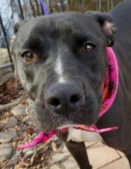 American Pit Bull Terrier Mix Dog for adoption in Spartanburg, South Carolina - Faith