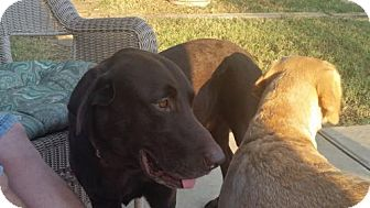 Labrador Retriever Dog for adoption in Denton, Texas - Boston