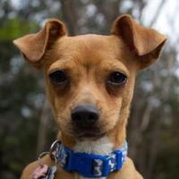 Adopt A Pet :: Lenny - Waco, TX