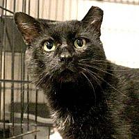 Domestic Shorthair Cat for adoption in Asheville, North Carolina - Virgo