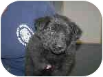 Chow Chow/German Shepherd Dog Mix Puppy for adoption in Homer, New York - Snickers