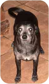 Corgi/Chihuahua Mix Dog for adoption in tucson, Arizona - Lena