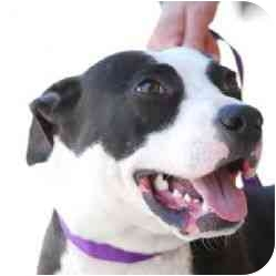 American Pit Bull Terrier Mix Puppy for adoption in Berkeley, California - Boca