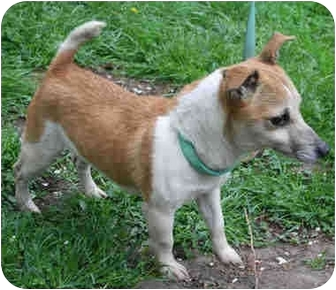 Jack Russell Terrier/Chihuahua Mix Dog for adoption in Old Bridge, New Jersey - Precious