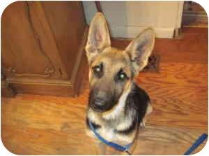 German Shepherd Dog Puppy for adoption in harrah, Oklahoma - Jewel