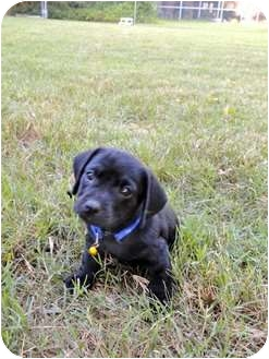 Dachshund Mix Puppy for adoption in Miami-Dade and Naples/Ft Myers areas, Florida - TANNER