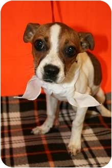 Chihuahua/Jack Russell Terrier Mix Dog for adoption in Sugar Land, Texas - Chaucy