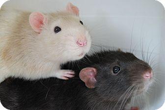 Rat for adoption in Hamilton, Ontario - Ben