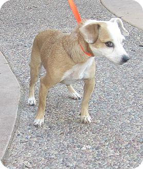 Jack Russell Terrier/Chihuahua Mix Dog for adoption in Westminster, California - Glimmer