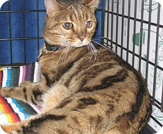 Bengal Cat for adoption in Houston, Texas - Rio