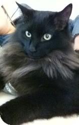 Maine Coon Cat for adoption in Sacramento, California - Osiris