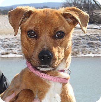 Beagle/Feist Mix Dog for adoption in Staunton, Virginia - Ruthie