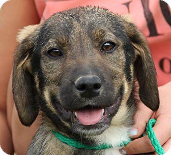 German Shepherd Dog/Golden Retriever Mix Puppy for adoption in Stamford, Connecticut - Sadie
