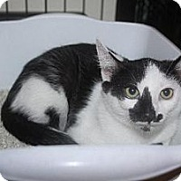 Adopt A Pet :: Sailorman aka Patches - Chino, CA