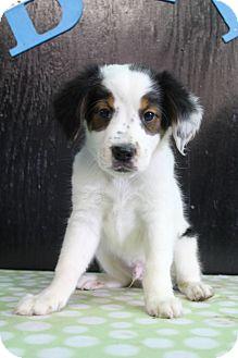 Australian Shepherd/English Pointer Mix Puppy for adoption in Greenville, Virginia - Jet