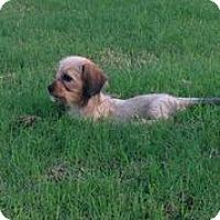 Adopt A Pet :: Pippa - Austin, TX