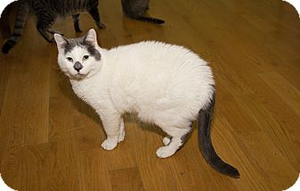 Domestic Shorthair Cat for adoption in Chicago, Illinois - Mr C