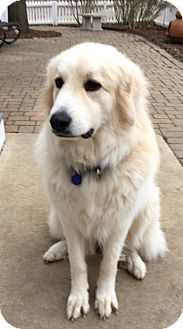 Great Pyrenees Dog for adoption in Bloomington, Illinois - Roxie ADOPTED