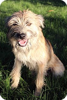 Wheaten Terrier Mix Dog for adoption in Westminster, Colorado - Pablo