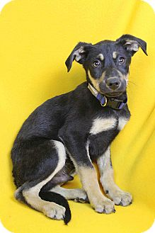 Shepherd (Unknown Type) Mix Puppy for adoption in Westminster, Colorado - Lance