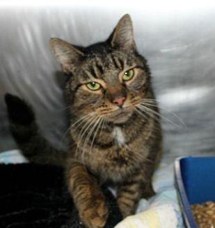 Domestic Shorthair Cat for adoption in Hilton Head, South Carolina - Sams
