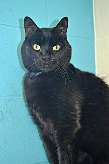 Domestic Shorthair Cat for adoption in Akron, Ohio - Sonic