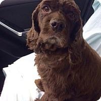 Adopt A Pet :: Winston Clark - Sugarland, TX
