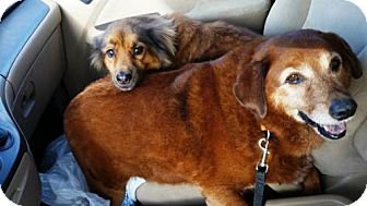 Retriever (Unknown Type)/Sheltie, Shetland Sheepdog Mix Dog for adoption in New Orleans, Louisiana - Lacey and Laddie