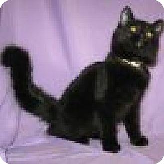 Domestic Mediumhair Cat for adoption in Powell, Ohio - Zaina