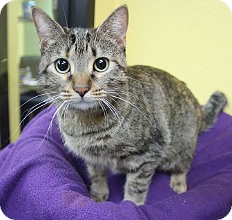 Domestic Shorthair Cat for adoption in Benbrook, Texas - Tomera