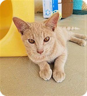 Domestic Shorthair Kitten for adoption in Umatilla, Florida - Phineas