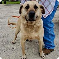 Adopt A Pet :: Bear @ Animal Shelter - Zanesville, OH