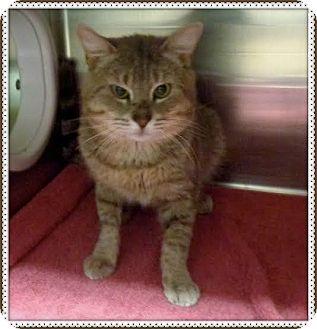 Domestic Shorthair Cat for adoption in Marietta, Georgia - RUSTY