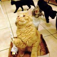 Adopt A Pet :: Cheddar - Chandler, AZ