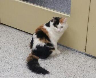 Domestic Mediumhair/Domestic Shorthair Mix Cat for adoption in Phoenix, Arizona - Missy