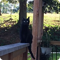 Domestic Shorthair Cat for adoption in Pickens, South Carolina - Sweetie