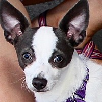 Adopt A Pet :: TIANA - Albany, NY