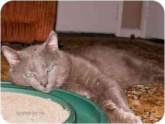 Domestic Shorthair Cat for adoption in Cincinnati, Ohio - Frankie