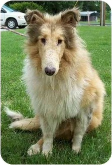 Collie Mix Dog for adoption in North Judson, Indiana - Marley aka Journey