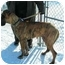 Photo 2 - Great Dane Dog for adoption in Rigaud, Quebec - Zeke