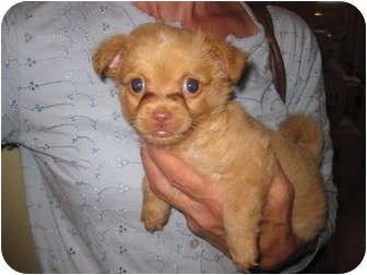 Pomeranian/Chihuahua Mix Puppy for adoption in Culver City, California - Chanelle