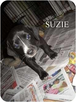 Labrador Retriever Mix Puppy for adoption in Weeki Wachee, Florida - Suzie
