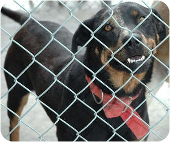 Labrador Retriever/Rottweiler Mix Dog for adoption in Ripley, Tennessee - Blaze (1800)
