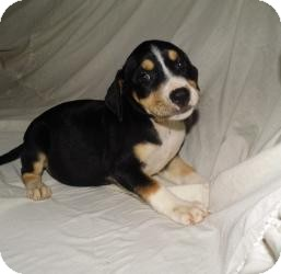 Beagle Mix Puppy for adoption in Bel Air, Maryland - Bethany