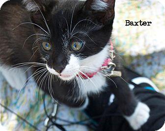 Domestic Shorthair Kitten for adoption in Santa Monica, California - Baxter
