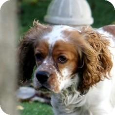 Cocker Spaniel Mix Dog for adoption in Sacramento, California - Lucky
