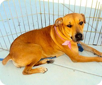 Labrador Retriever/Black Mouth Cur Mix Dog for adoption in San Diego, California - Roxy