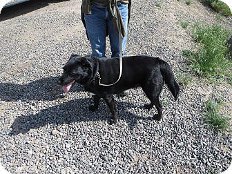 Labrador Retriever/Australian Shepherd Mix Dog for adoption in Cedaredge, Colorado - Lucy