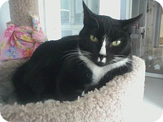 Domestic Shorthair Cat for adoption in Columbia, South Carolina - Buttons
